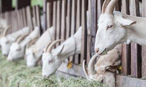 Hygiëneprotocol geiten gebaseerd op foute veronderstellingen